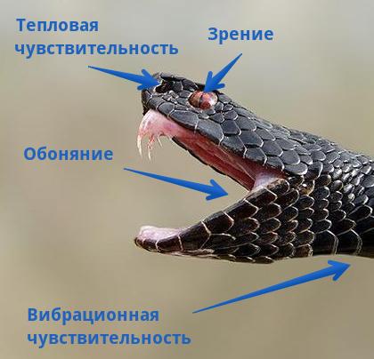 Органы чувств змеи