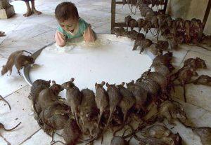 Крысы и человек пьют молоко