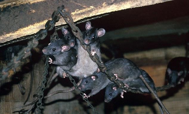 Крысы пробираются на корабль по якорной цепи