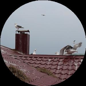 Чайки на крыше жилого дома