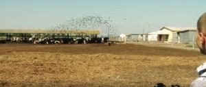 Биоакустический прибор Сапсан-3 прогоняет скворцов с фермы