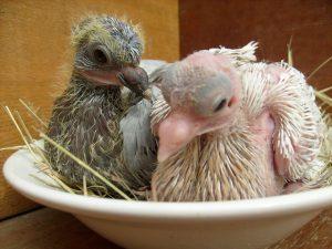 Птенцы голубей в гнезде