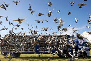 Выпуск голубей для старта гонки