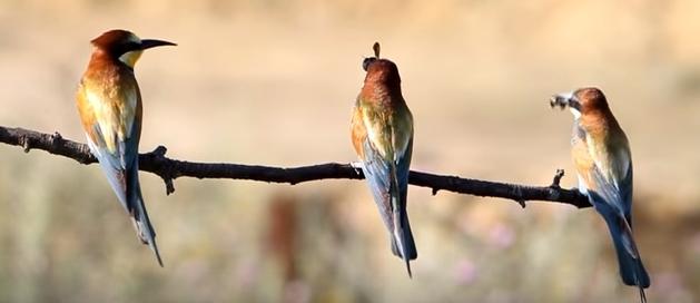 Щурки в ожидании вылета пчел из ульев