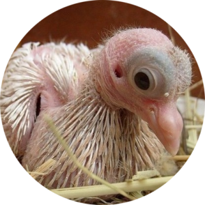 Птенец голубя в гнезде