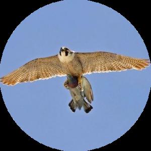 Сапсан поймал голубя на охоте