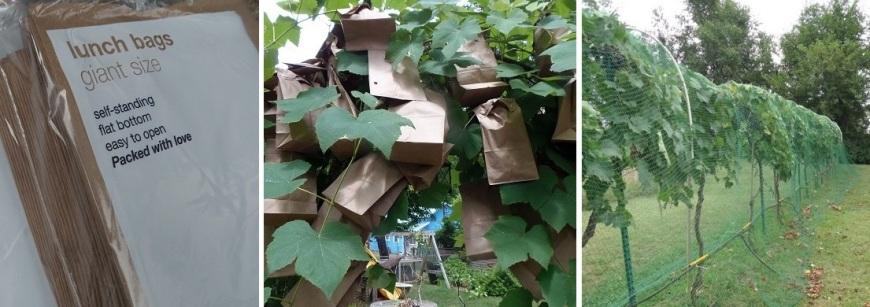 Слева направо: пакеты из пергамента для упаковки завтраков, грозди спрятаны в пакеты, кусты винограда спрятаны от птиц