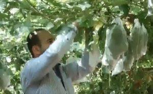 Каторжная работа - каждую гроздь поместить в защитный от птиц пакет
