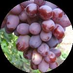Виноград сорта акапулько