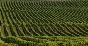 Бескрайние плантации винограда