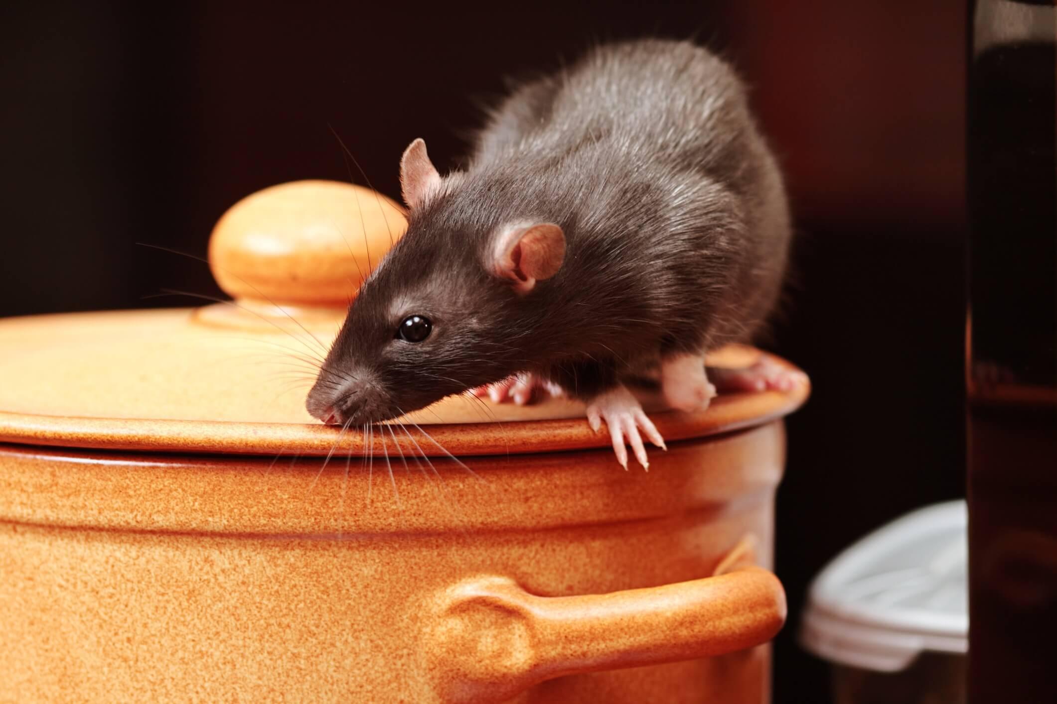 Крыса нюхает кастрюлю с гречкой