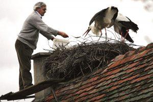 Аист поселился на крыше дома, Хорватия
