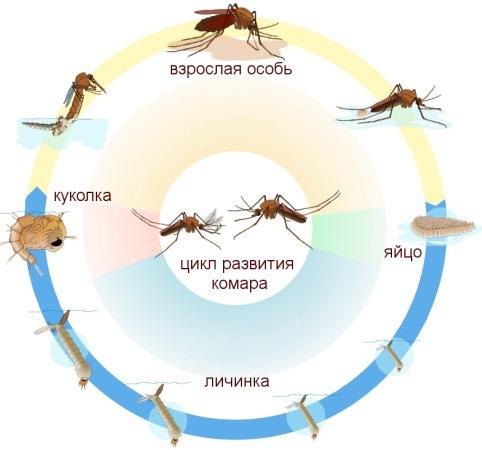 Круговорот комара в природе