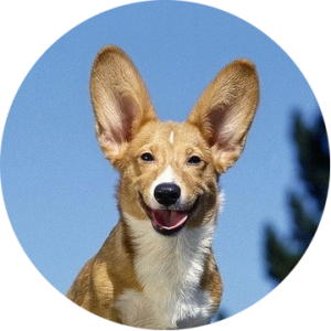 Собака отлично слышит