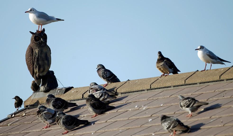 """Макет совы на крыше дома. Отлично видно, как его """"боятся"""" чайки и голуби"""