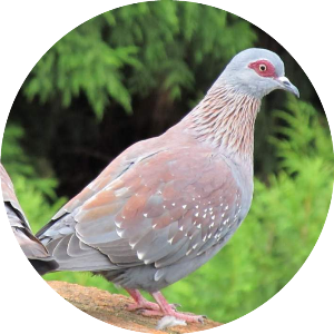 Крапчатый голубь