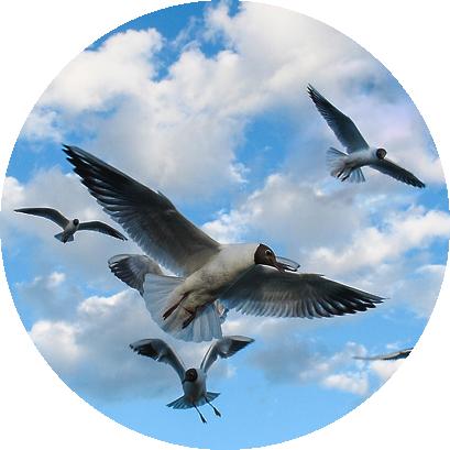 Чайки из Раменское